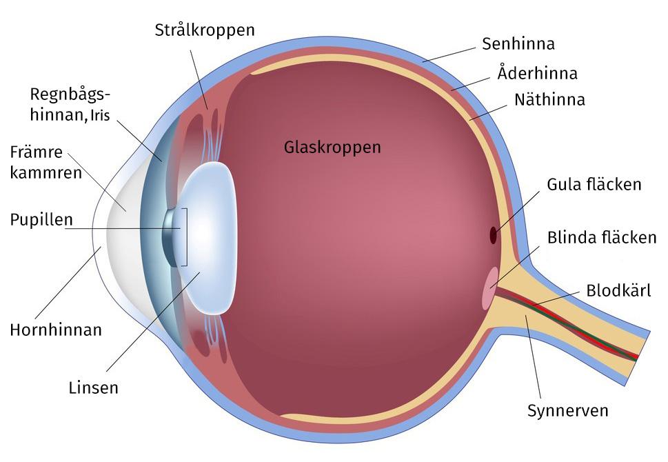 hur är ögat uppbyggt